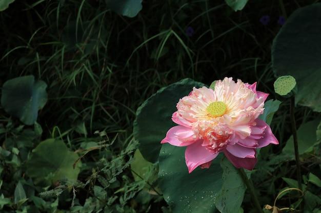 Крупным планом розовый лотос, цветущий в пруду