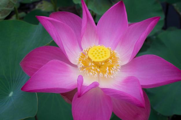Close-up pink lotus flower