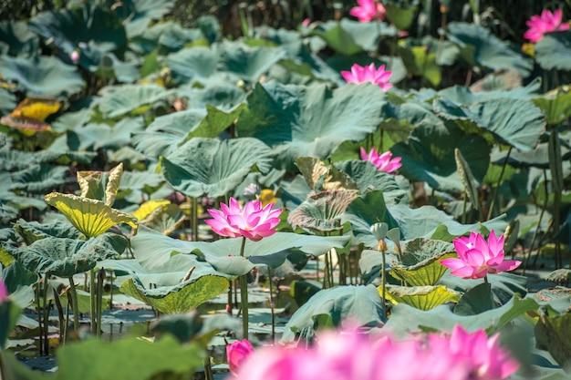 湖のピンクハス(nelumbo nucifera gaertn。)、緑の自然の背景を持つカラフルなピンクホワイトの花びらをクローズアップ
