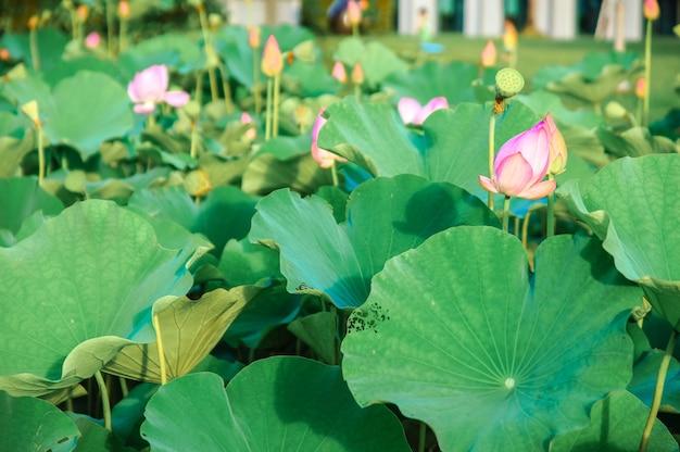 湖のピンクの蓮(nelumbo nucifera gaertn。)、緑の自然の背景を持つカラフルなピンクホワイトの花びらをクローズアップ