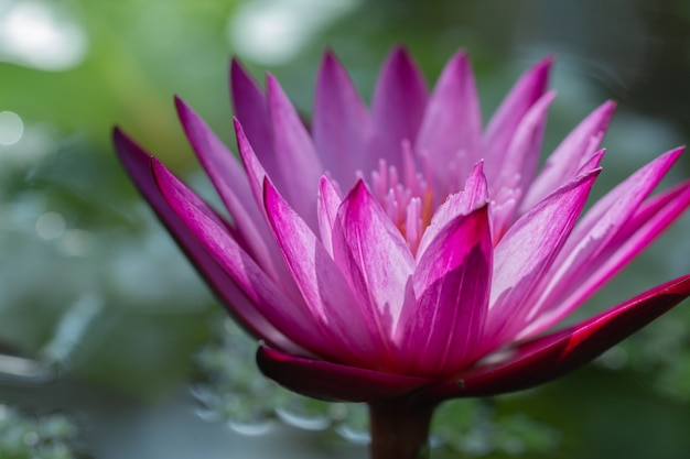 Close-up pink lotus water lily flower