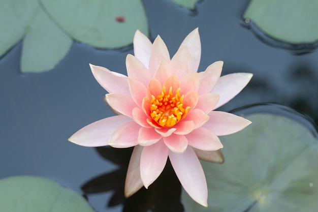 Close up pink lotus water lily flower.