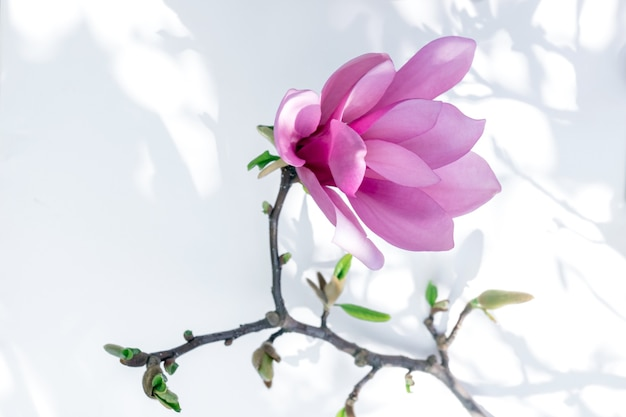 Close up of pink magnolia flower on the white background with light and shadow.