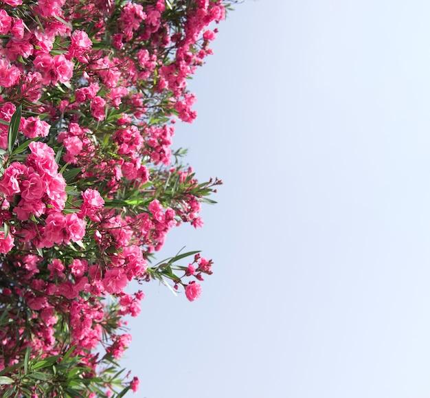 Закройте вверх по розовым цветам олеандра с зелеными листьями, копией пространства