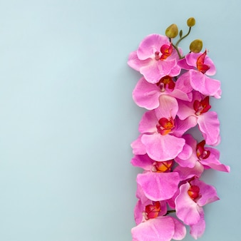 Close-up of pink orchid flowers on blue backdrop
