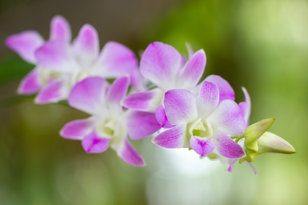 Close up pink orchid named aerides multiflora roxb