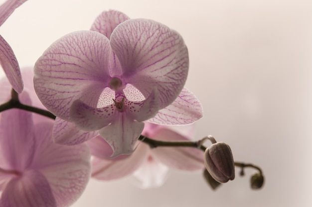 Close-up of pink orchids on light abstract background. pink orchid in pot on white background. image of love and beauty. natural background and design element.