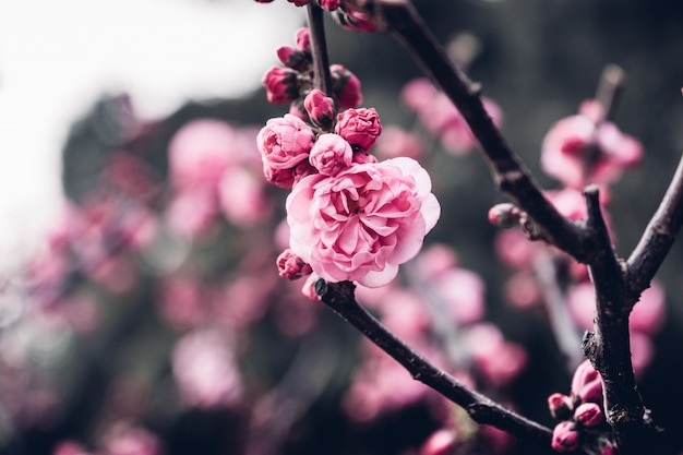 Close up pink plum flower blossom on tree in spring seasonal,natural background