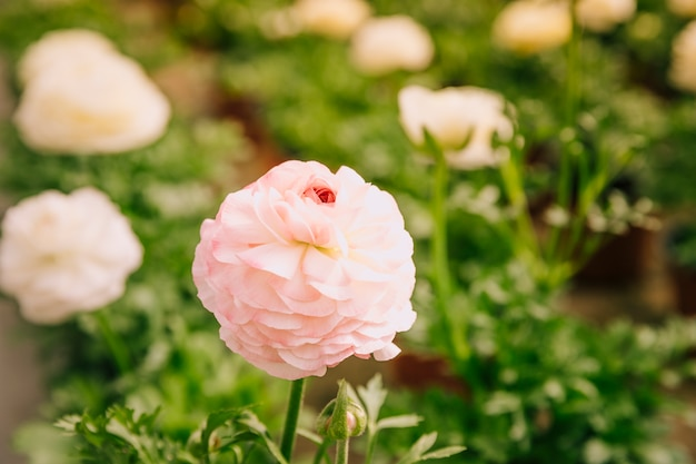 Close-up of pink ranunculus in the garden