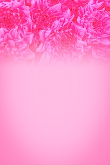 Close up pink rose flowers background