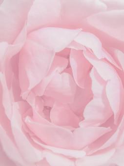 Close-up pink rose petals texture. abstract background, beautiful rose flower petals