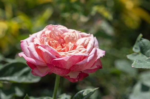 Крупным планом розовые розы в открытом саду.