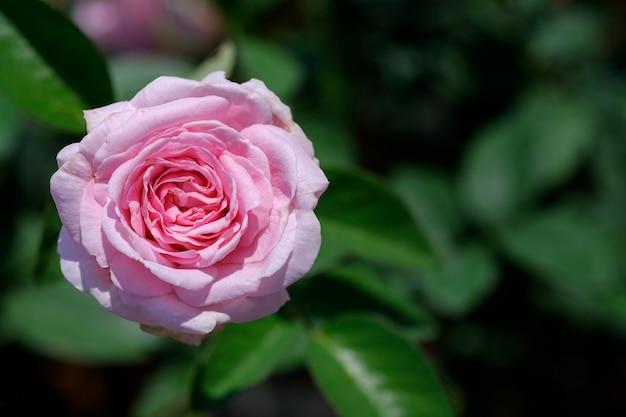Крупным планом розовые розы на фоне зеленых листьев в открытом саду, вид сверху.