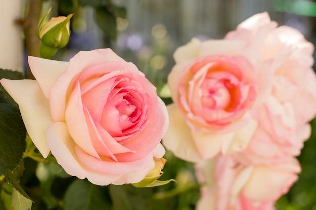 Close-up pink roses petals