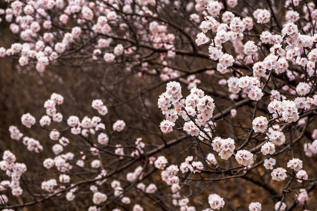 Close up pink sakura flower blossom on tree in spring seasonal, natural background