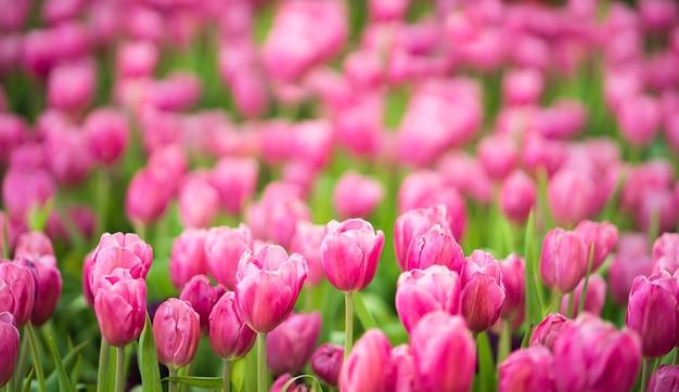 春の庭に咲くピンクのチューリップの花をクローズアップ