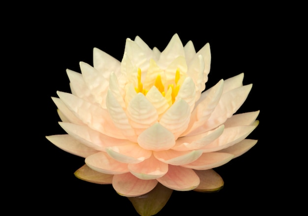 Close up pink water lily flower isolated on black background.