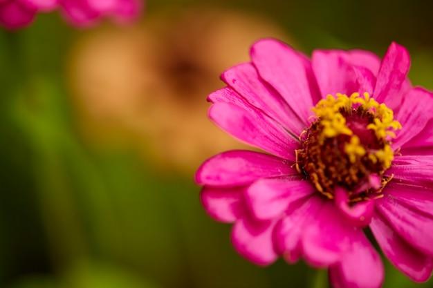Close up pink zinnia violacea