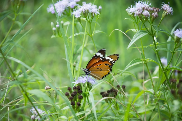 Close up of plain tiger danaus chrysippus butterfly visiting flower in nature in a public park