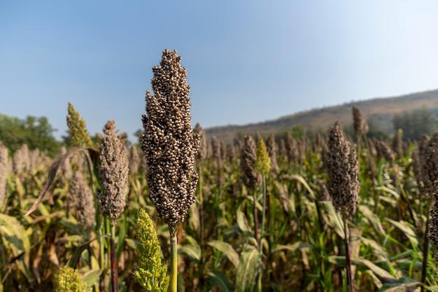 농장에서 기장을 심고 근접시키는 것은 아름다운 산의 경치입니다. 프리미엄 사진