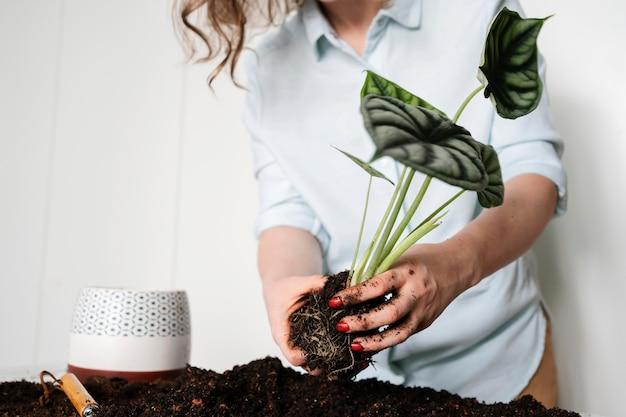 土壌に植える植物の球根をクローズアップ