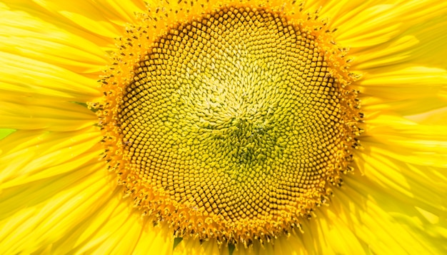 Close up pollen sunflower on sunny day background