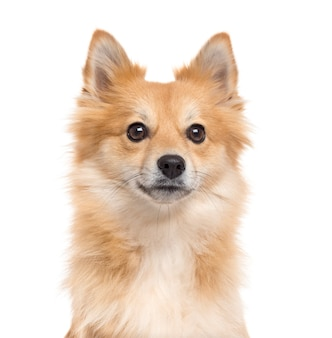 Close up of a pomeranian looking at the camera isolated on white