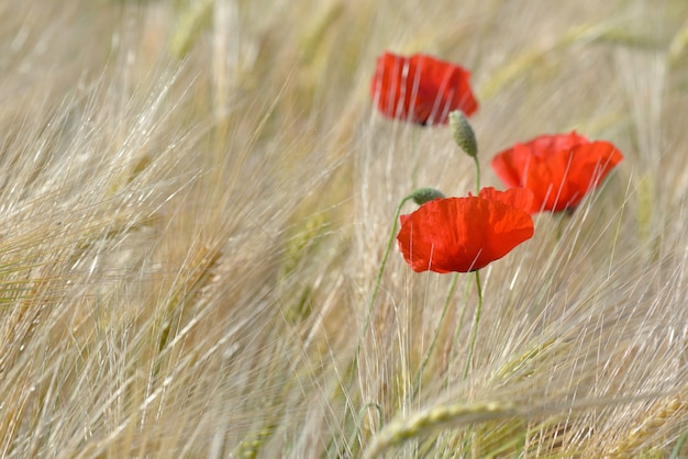 Close up poppies blooming in a field of cereal in summer