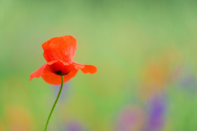 Close up in poppy field and sun.