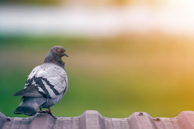 Close-up portrait of beautiful big gray and white grown pigeon with orange eye perching on the edge of brown metal tile roof on blurred bright green bokeh background.