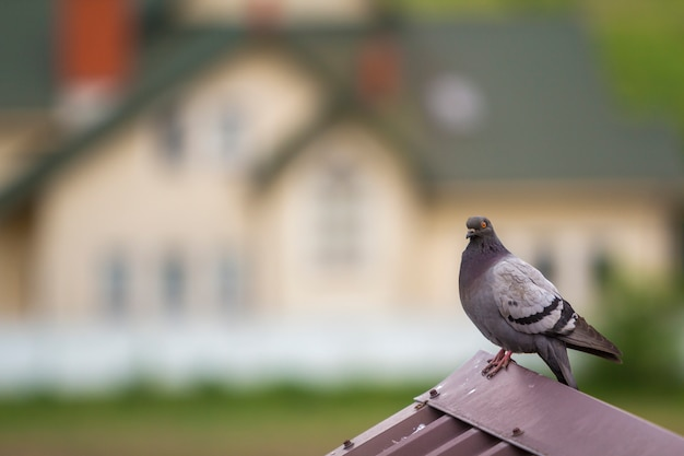 Close-up portrait of beautiful big gray and white grown pigeon with orange eye and thick plumage perching on top of brown metal tile roof on blurred bright colorful two-story house bokeh background.