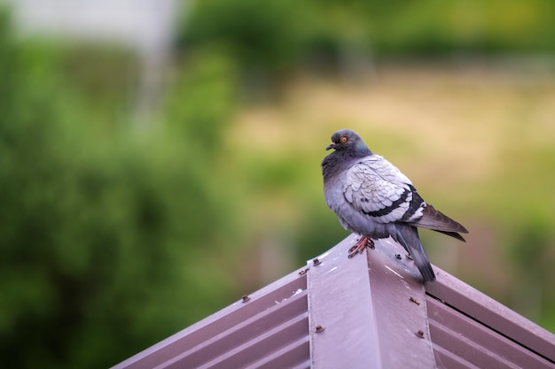 Close-up portrait of beautiful big gray and white grown pigeon with orange eye and thick plumage perching on top of brown metal tile roof on blurred bright green bokeh background.