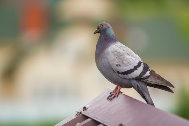 Close-up portrait of beautiful big gray and white grown pigeon with orange eye and thick plumage perching on top of brown metal tile roof on blurred bright green bokeh.