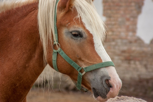 Close-up portrait of a beautiful brown horse with a white mane