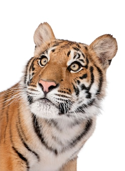 Close-up portrait of bengal tiger, panthera tigris tigris isolated