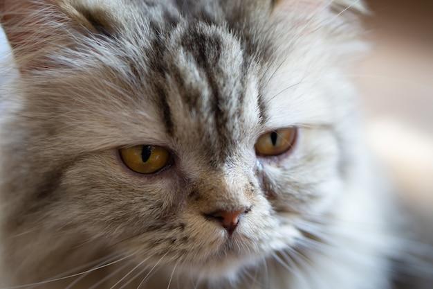 Close up portrait a cat. selective focus at cat's eye.