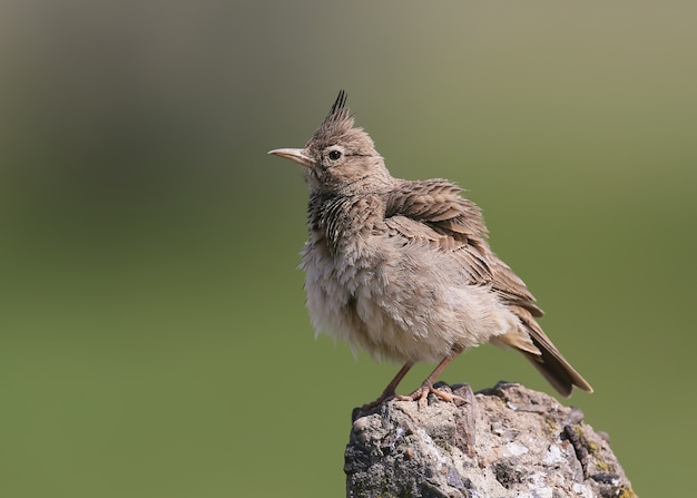 Close-up portrait of a crested lark on a blurred green background
