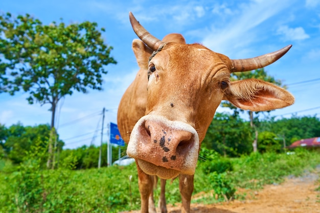 Close up portrait of curious cow grazing on the roadside