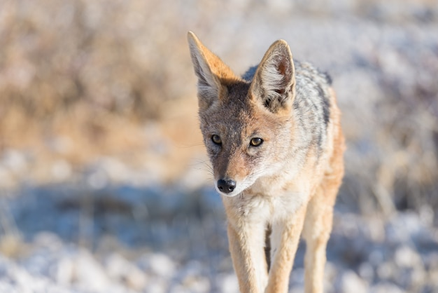 Close up and portrait of a cute black backed jackal walking in the bush