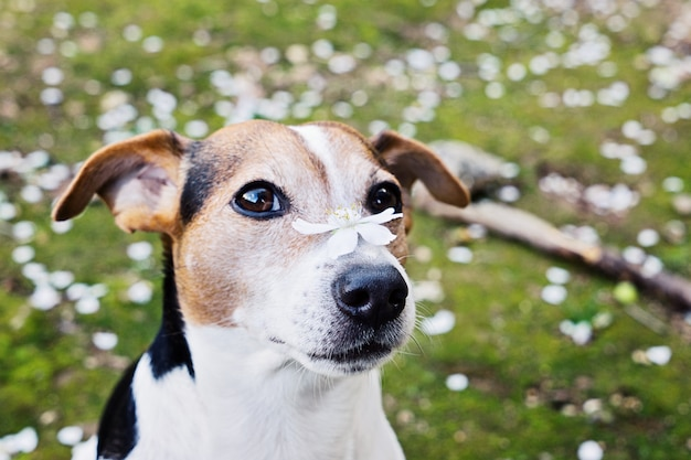 Close up portrait of cute jack russell dog with white flower.