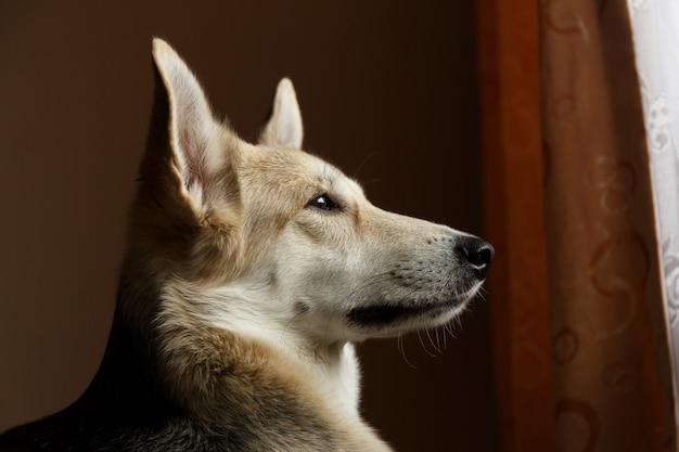 クローズアップの肖像画家の中の窓の外を見ているかわいい羊飼いの犬