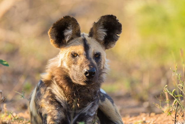 Close up and portrait of a cute wild dog or lycaon lying down in the bush. wildlife safari in kruger national park, the main travel destination in south africa.