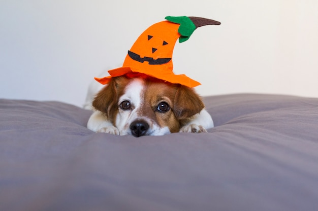 Close up portrait of a cute young small dog lying on bed with a halloween costume and decoration. pets indoors.