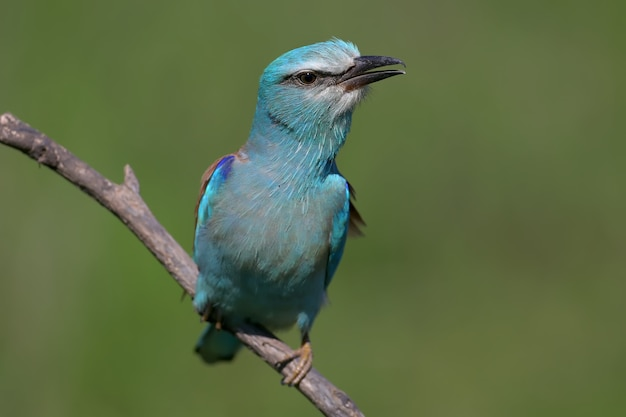 Close up portrait european roller sits on a branch
