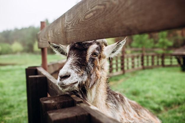 ひげと村の農場で角を持つ山羊の肖像画の顔を閉じます。角のある古いビリー(バック)ヤギ。ウクライナの村、農業、家畜の典型的なシーン。