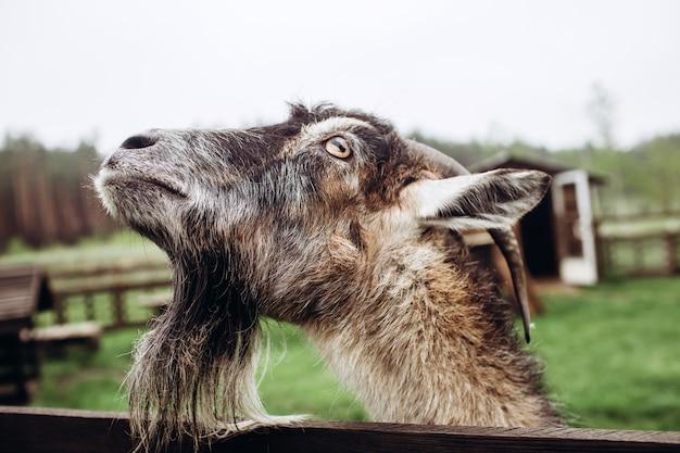 Закройте вверх по стороне портрета козы с бородой и рожков на ферме в деревне. старый козел с рогами. типичная сцена в украинском селе, сельское хозяйство, животноводство.