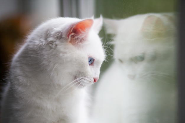 Close-up portrait of a fluffy white cat with blue eyes