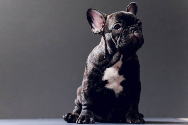 Close-up portrait of funny smiled french bulldog dog and curiously looking, front view, isolated on black background.