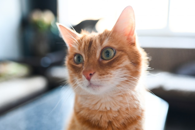 Close up portrait of funny surprised ginger cat