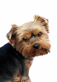 Close-up portrait of funny yorkshire terrier indoor on white